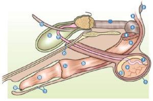 castratie & sterilisatie